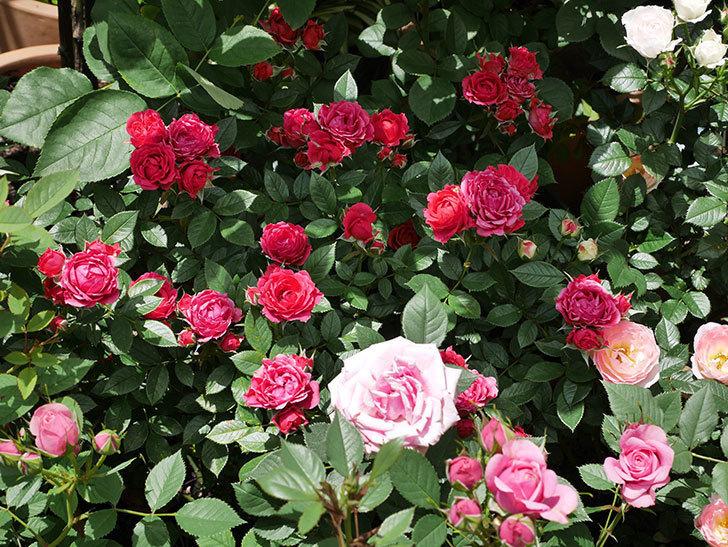 レッドミニモ(ミニバラ)の花が増えて来た。2019年-4.jpg