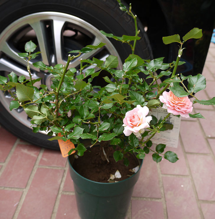 レディメイアンディナ(ミニバラ)の開花株買って来た。2016年-1.jpg