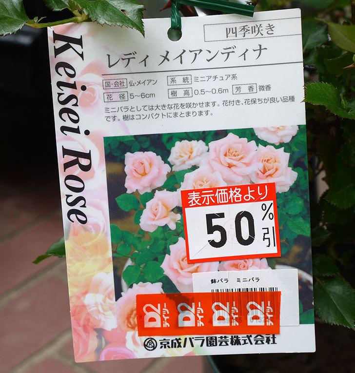レディメイアンディナ(ミニバラ)の開花株買って来た。2016年-5.jpg
