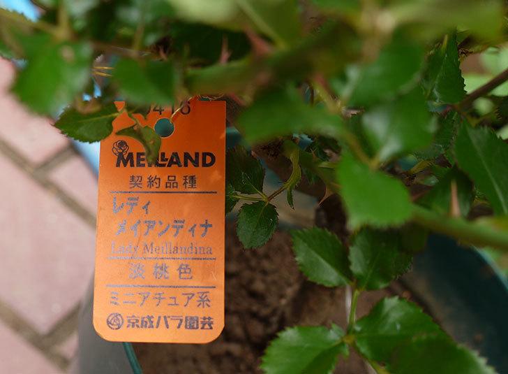 レディメイアンディナ(ミニバラ)の開花株買って来た。2016年-6.jpg