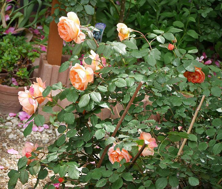 レディ・エマ・ハミルトン(木立バラ)がたくさん咲いた。2018年-1.jpg