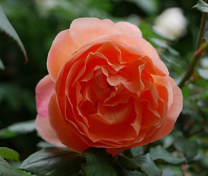 レディ・エマ・ハミルトン(木立バラ)がたくさん咲いた。2018年-10.jpg