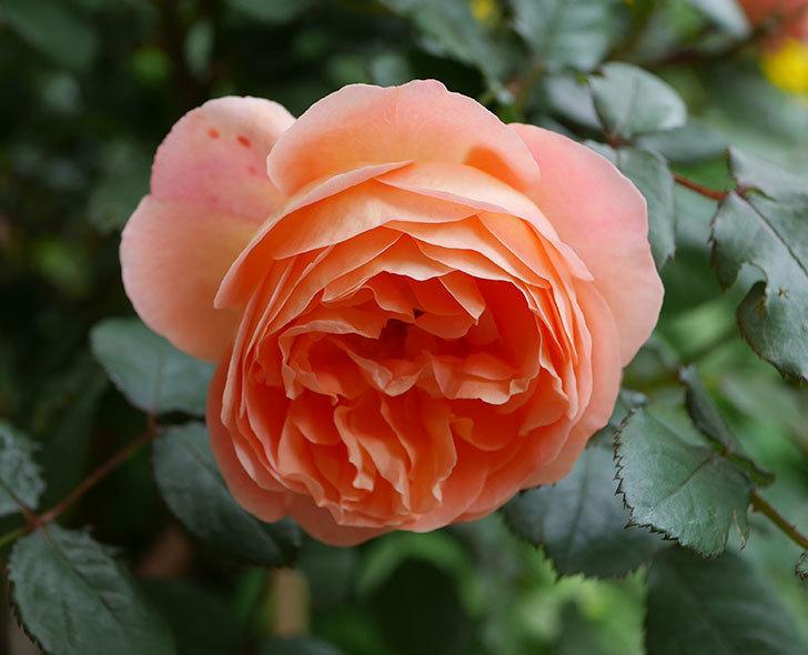 レディ・エマ・ハミルトン(木立バラ)がたくさん咲いた。2018年-12.jpg