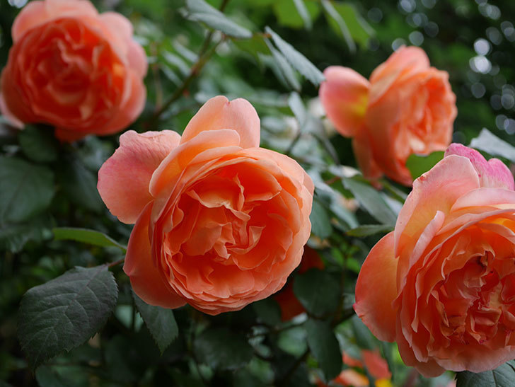 レディ・エマ・ハミルトン(木立バラ)がたくさん咲いた。2018年-13.jpg