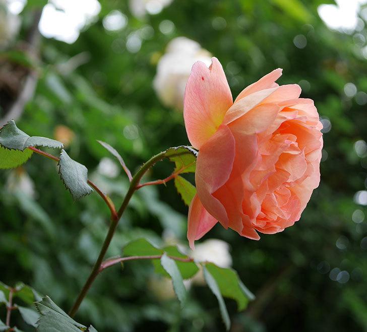レディ・エマ・ハミルトン(木立バラ)がたくさん咲いた。2018年-14.jpg