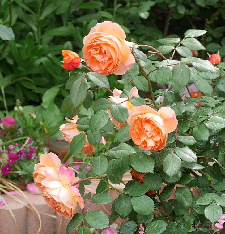 レディ・エマ・ハミルトン(木立バラ)がたくさん咲いた。2018年-15.jpg