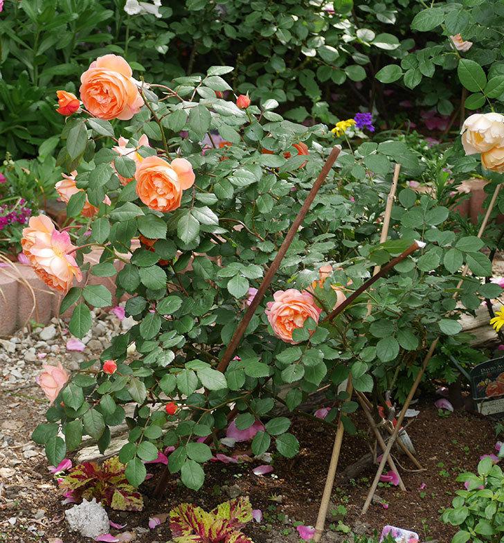 レディ・エマ・ハミルトン(木立バラ)がたくさん咲いた。2018年-16.jpg
