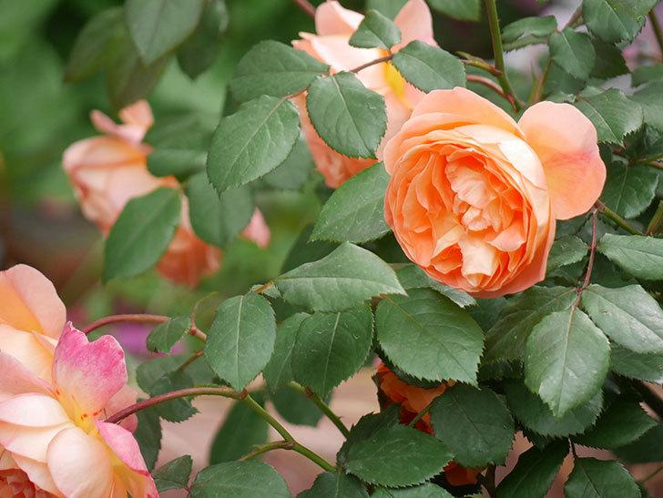 レディ・エマ・ハミルトン(木立バラ)がたくさん咲いた。2018年-17.jpg