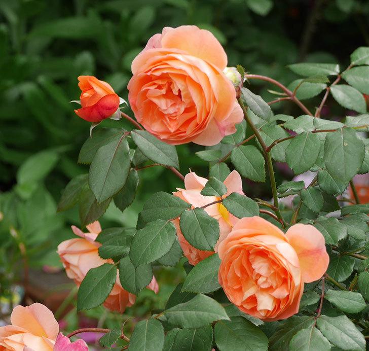 レディ・エマ・ハミルトン(木立バラ)がたくさん咲いた。2018年-18.jpg