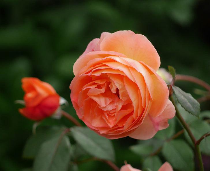 レディ・エマ・ハミルトン(木立バラ)がたくさん咲いた。2018年-19.jpg