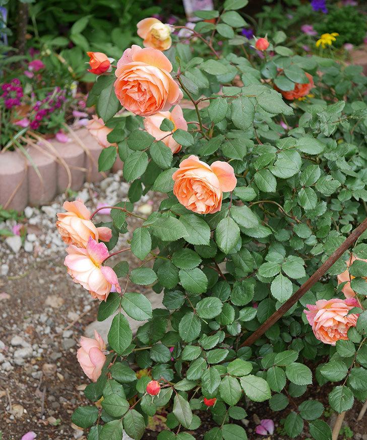 レディ・エマ・ハミルトン(木立バラ)がたくさん咲いた。2018年-2.jpg