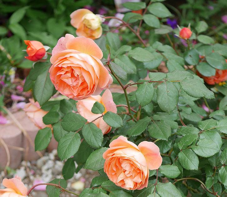 レディ・エマ・ハミルトン(木立バラ)がたくさん咲いた。2018年-3.jpg