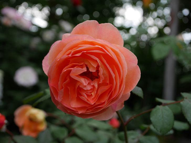 レディ・エマ・ハミルトン(木立バラ)がたくさん咲いた。2018年-6.jpg