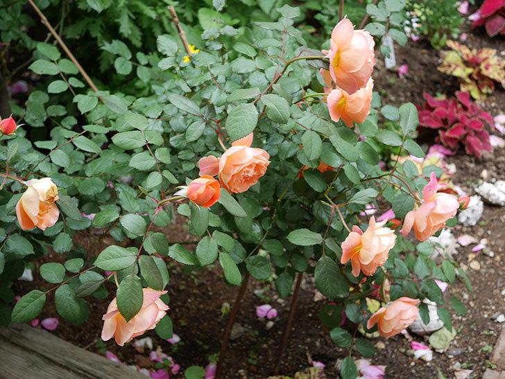 レディ・エマ・ハミルトン(木立バラ)がたくさん咲いた。2018年-7.jpg