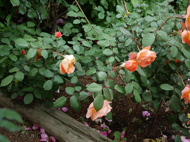 レディ・エマ・ハミルトン(木立バラ)がたくさん咲いた。2018年-8.jpg