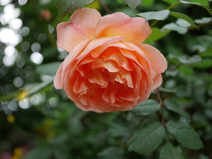 レディ・エマ・ハミルトン(木立バラ)がたくさん咲いた。2018年-9.jpg