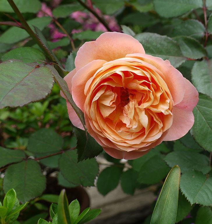 レディ・エマ・ハミルトン(木立バラ)が咲いた。2017年-1.jpg