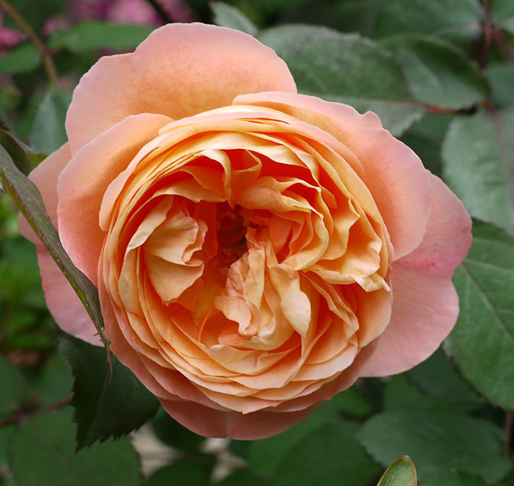 レディ・エマ・ハミルトン(木立バラ)が咲いた。2017年-2.jpg