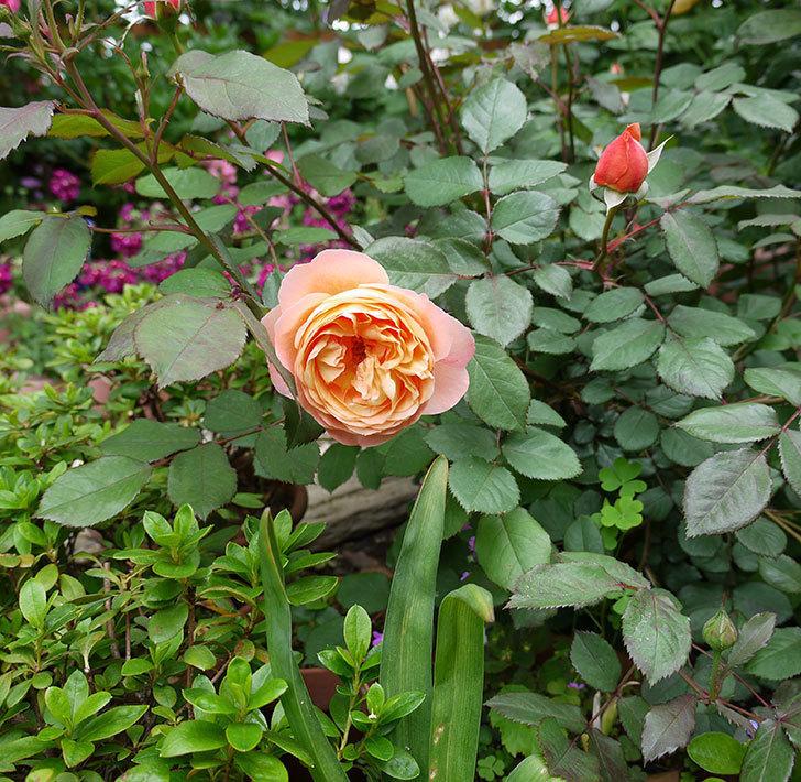 レディ・エマ・ハミルトン(木立バラ)が咲いた。2017年-3.jpg