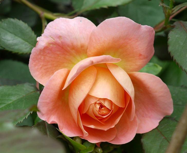 レディ・エマ・ハミルトン(木立バラ)が咲いた。2017年-5.jpg