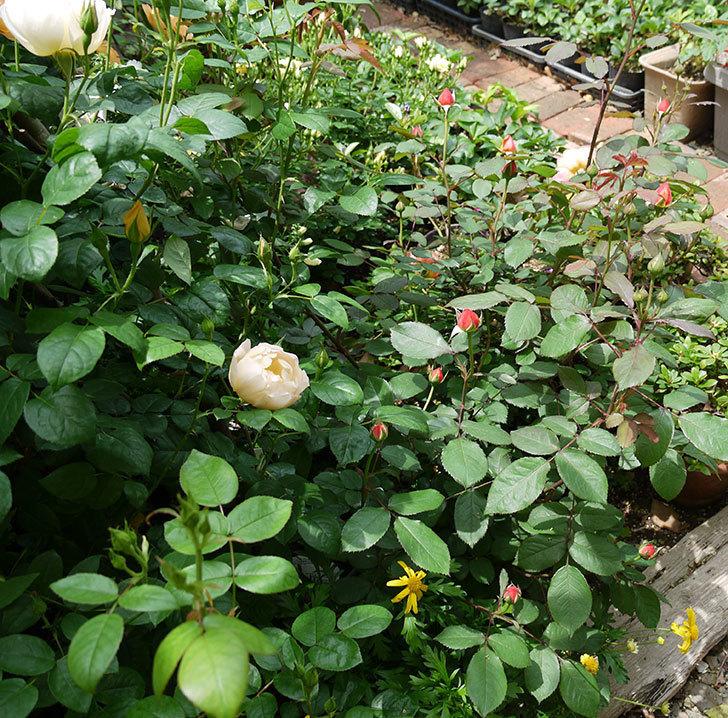 レディ・エマ・ハミルトン(木立バラ)が咲いた。2017年-8.jpg