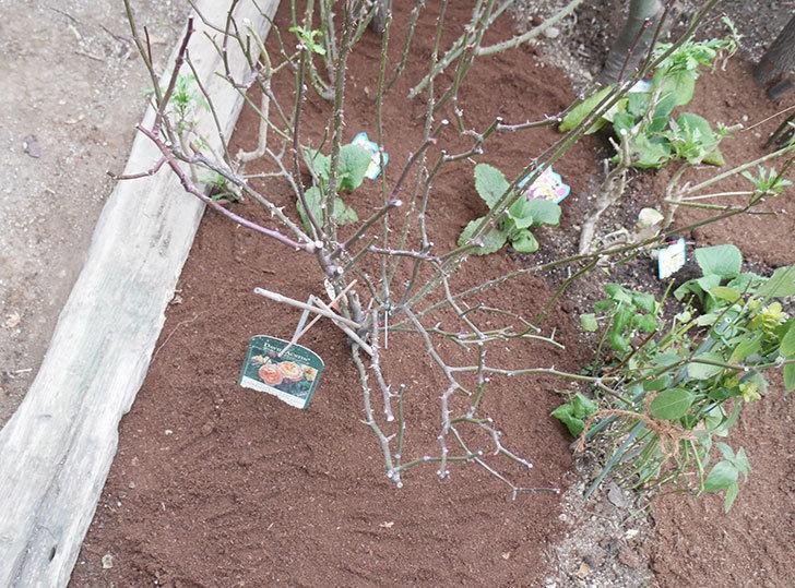 レディ・エマ・ハミルトン(木立バラ)に寒肥を施した。2019年-12.jpg