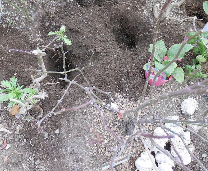 レディ・エマ・ハミルトン(木立バラ)に寒肥を施した。2019年-3.jpg