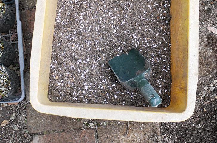 レディ・エマ・ハミルトン(木立バラ)に寒肥を施した。2019年-4.jpg