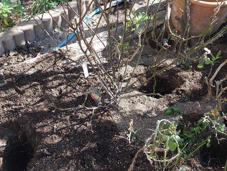 レディ・エマ・ハミルトン(木立バラ)に寒肥を施した。2020年-1.jpg