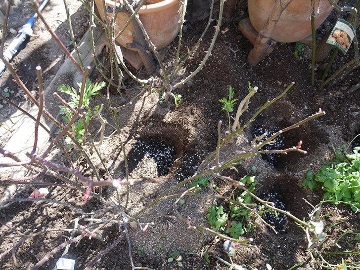 レディ・エマ・ハミルトン(木立バラ)に寒肥を施した。2020年-2.jpg