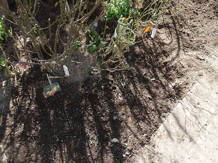 レディ・エマ・ハミルトン(木立バラ)に寒肥を施した。2020年-4.jpg