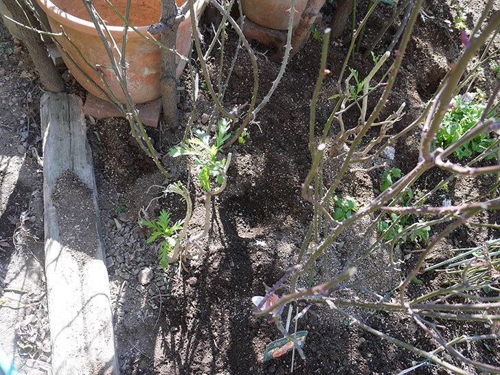 レディ・エマ・ハミルトン(木立バラ)に寒肥を施した。2020年-5.jpg