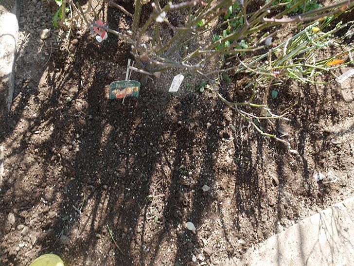レディ・エマ・ハミルトン(木立バラ)に寒肥を施した。2020年-6.jpg