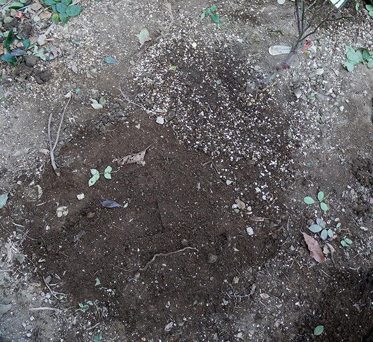 レディ・エマ・ハミルトン(木立バラ)に穴を掘って寒肥をやった。2017年-6.jpg