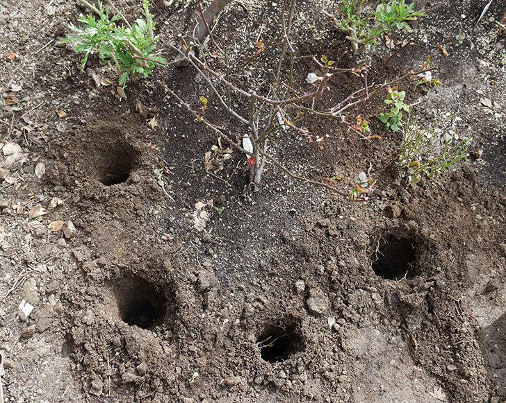 レディ・エマ・ハミルトン(木立バラ)に穴を掘って寒肥をやった。2018年-1.jpg
