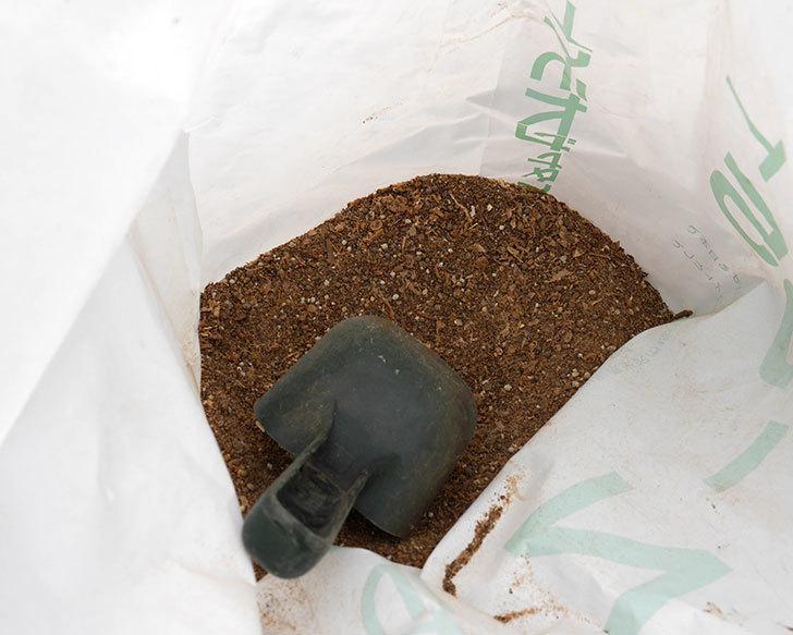 レディ・エマ・ハミルトン(木立バラ)に穴を掘って寒肥をやった。2018年-2.jpg