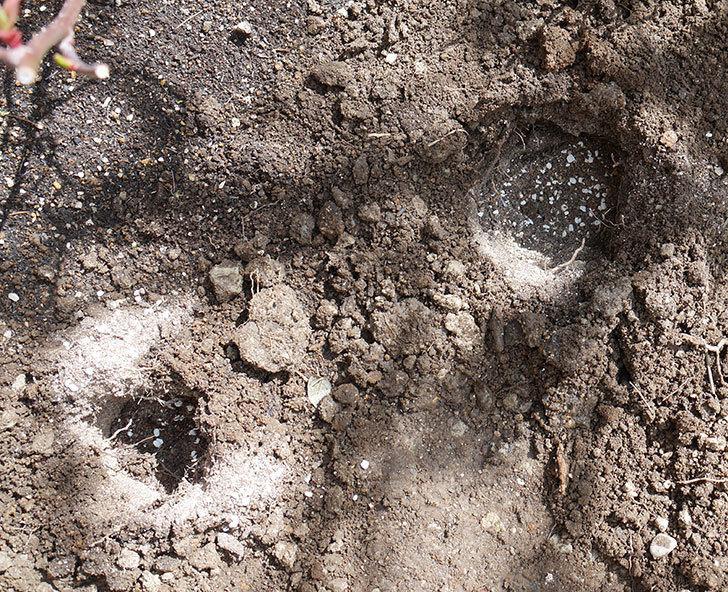レディ・エマ・ハミルトン(木立バラ)に穴を掘って寒肥をやった。2018年-5.jpg