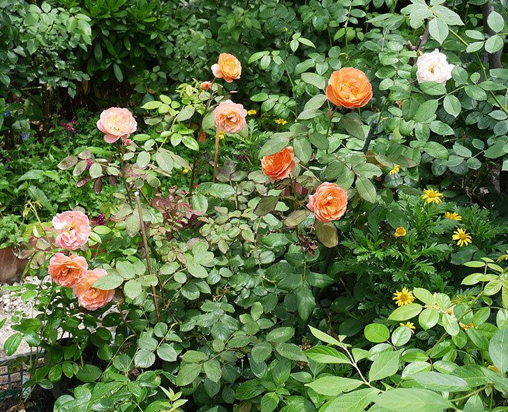 レディ・エマ・ハミルトン(木立バラ)の2番花がたくさん咲いた。2017年-1.jpg