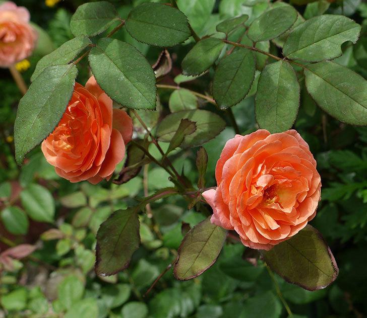 レディ・エマ・ハミルトン(木立バラ)の2番花がたくさん咲いた。2017年-2.jpg