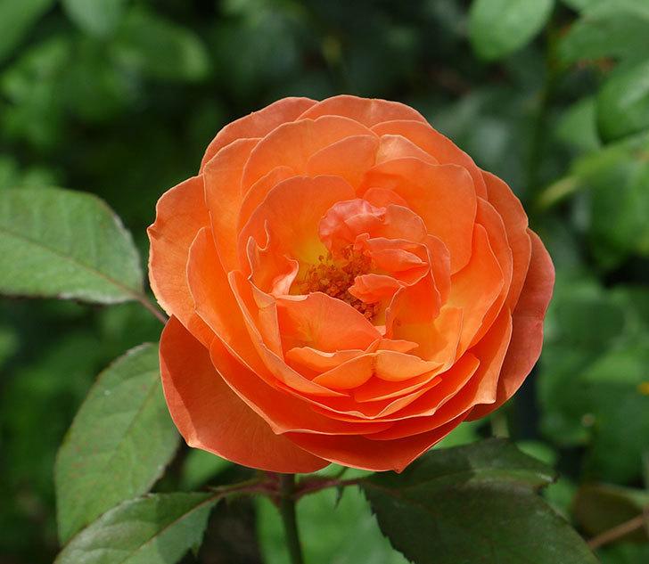 レディ・エマ・ハミルトン(木立バラ)の2番花がたくさん咲いた。2017年-3.jpg