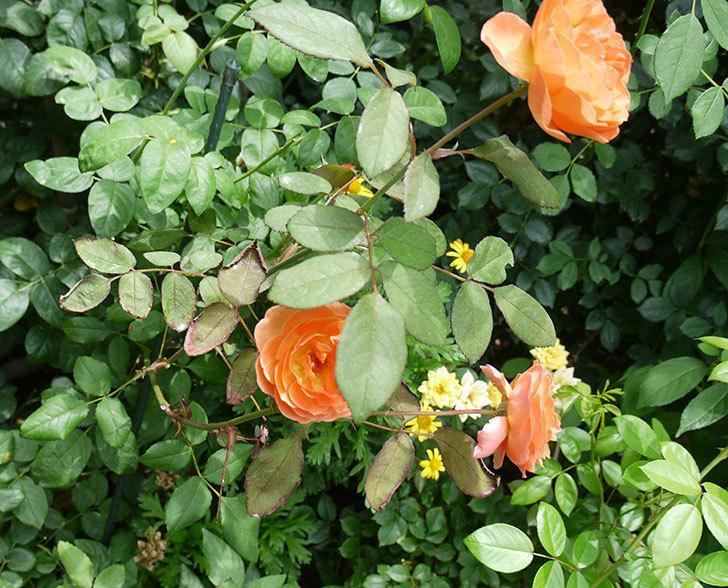 レディ・エマ・ハミルトン(木立バラ)の2番花がたくさん咲いた。2017年-4.jpg