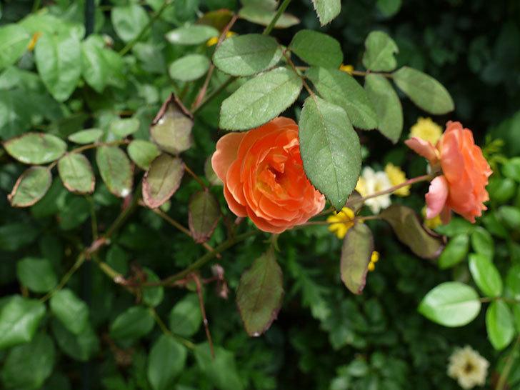 レディ・エマ・ハミルトン(木立バラ)の2番花がたくさん咲いた。2017年-5.jpg