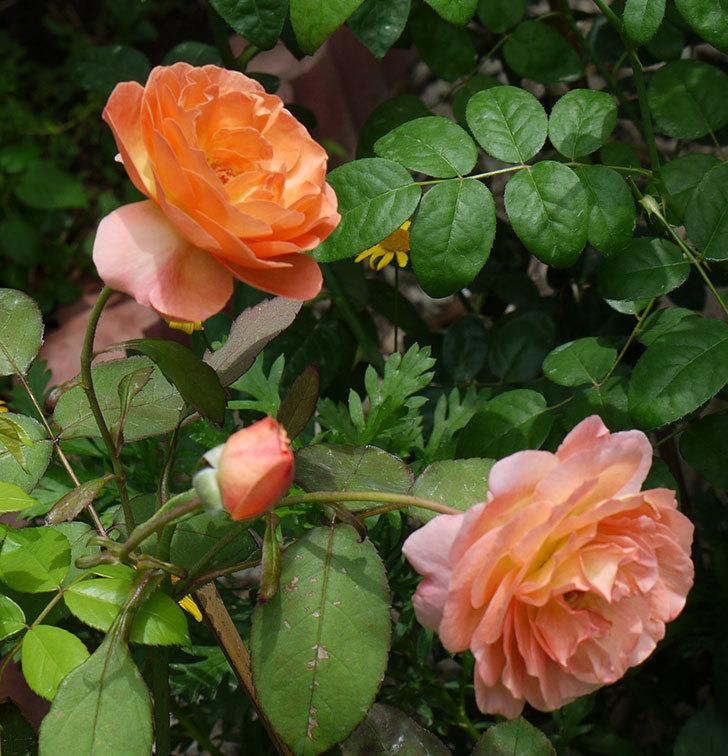 レディ・エマ・ハミルトン(木立バラ)の2番花がたくさん咲いた。2017年-6.jpg