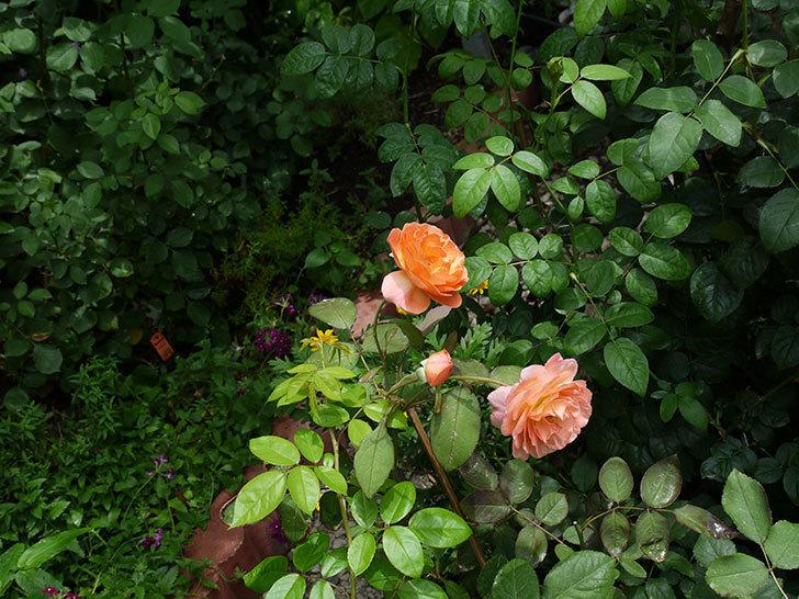 レディ・エマ・ハミルトン(木立バラ)の2番花がたくさん咲いた。2017年-7.jpg