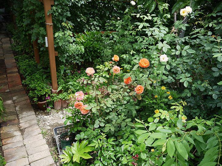レディ・エマ・ハミルトン(木立バラ)の2番花がたくさん咲いた。2017年-8.jpg