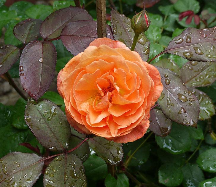 レディ・エマ・ハミルトン(木立バラ)の2番花が咲いた。2017年-1.jpg
