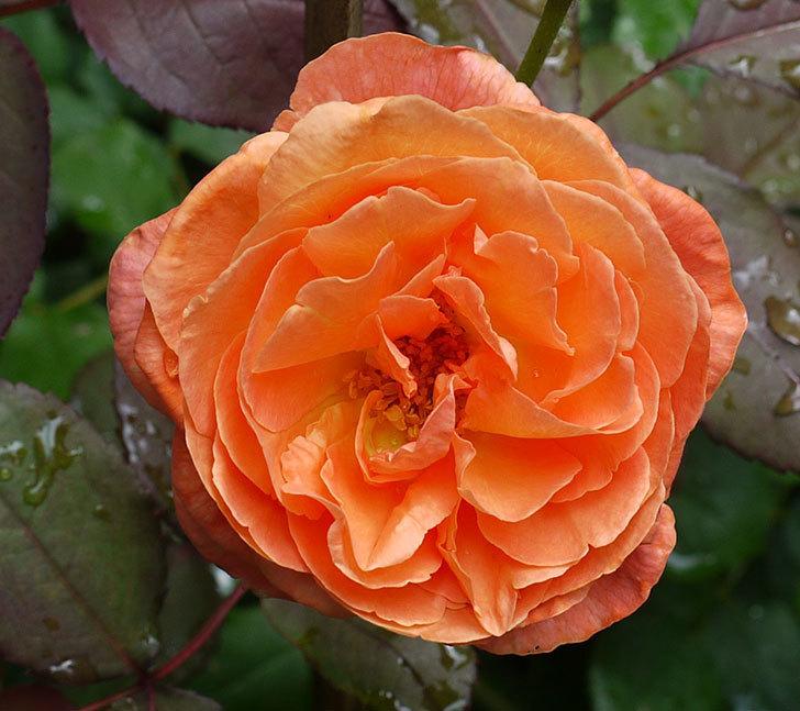 レディ・エマ・ハミルトン(木立バラ)の2番花が咲いた。2017年-2.jpg