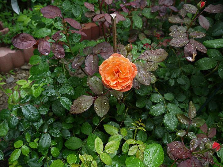 レディ・エマ・ハミルトン(木立バラ)の2番花が咲いた。2017年-3.jpg