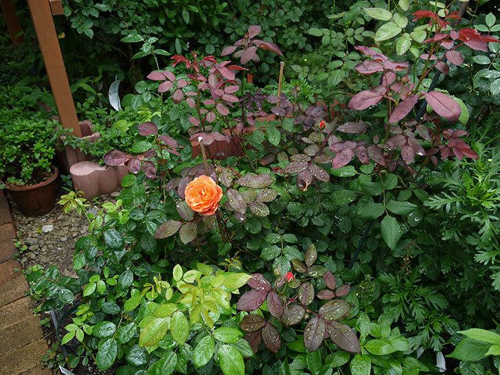 レディ・エマ・ハミルトン(木立バラ)の2番花が咲いた。2017年-4.jpg