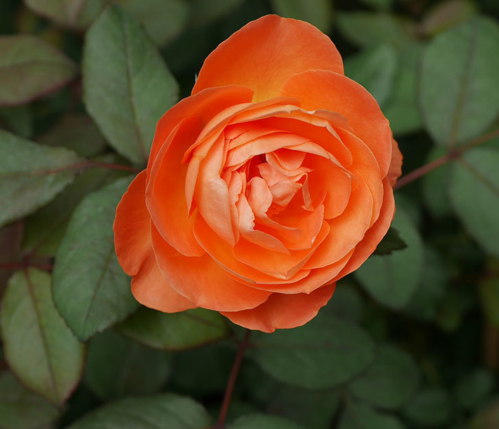 レディ・エマ・ハミルトン(木立バラ)の2番花が咲いた。2018年-1.jpg